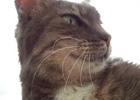 Thumbnail Silver Cream Tabby Cat Face