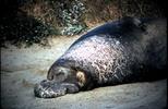Thumbnail Elephant Seal Ano Nuevo CA