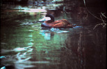Thumbnail Duck with Blue Bill