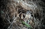 Thumbnail Rabbit, Point Reyes CA