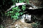 Thumbnail Badger Montana