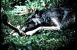Thumbnail Wolf with Elk Bone Montana