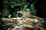 Thumbnail Rattlesnake Montana