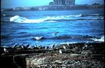 Thumbnail Sea Gull Nabs Crab Santa Cruz CA