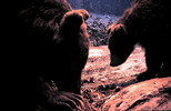 Thumbnail Mother Bear and Cub Russia