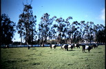 Thumbnail Belted Swiss Cows Sonoma CA