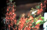 Thumbnail Hummingbird and Bleeding Heart Flowers Sebastopol CA