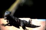 Thumbnail Iguana Mazatlan Mexico