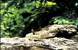 Rattlesnake Camouflaged Montana