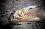 Elephant Seal Pup Ano Nuevo CA