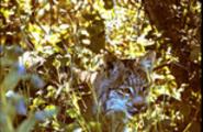 Lynx in Underbrush Montana