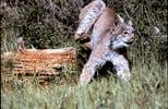 Thumbnail Lynx Landing Jump Montana