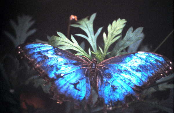 Product picture Blue Morpho Butterfly Monteverde Costa Rica